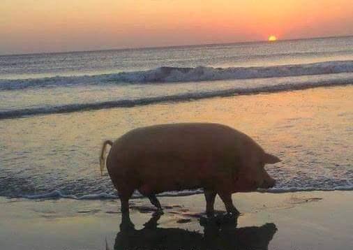 Condividi anche tu la foto di un maiale al tramonto viaggi ermeneutici - Maiale sul divano ...